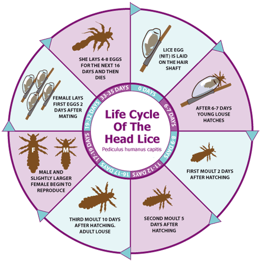 Life Cycle Of The Head Louse Head Louse Head Lice Prevention Head Lice Removal