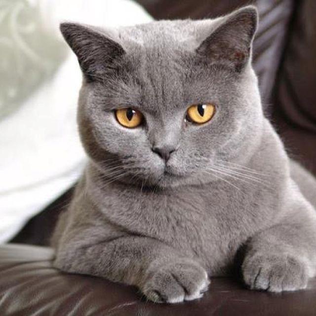 British Shorthair Like My Baltazar Chartreux Cat British Blue