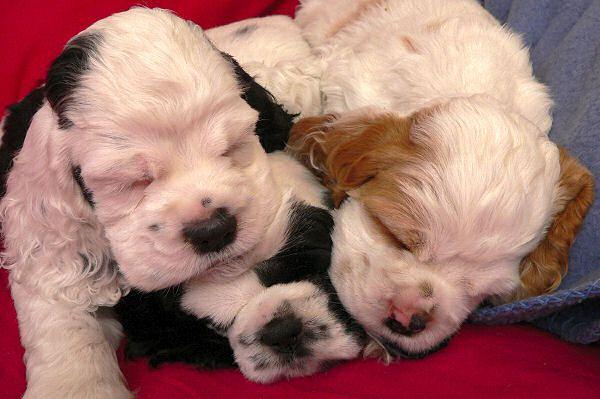 Cocker Spaniel Puppies Napping