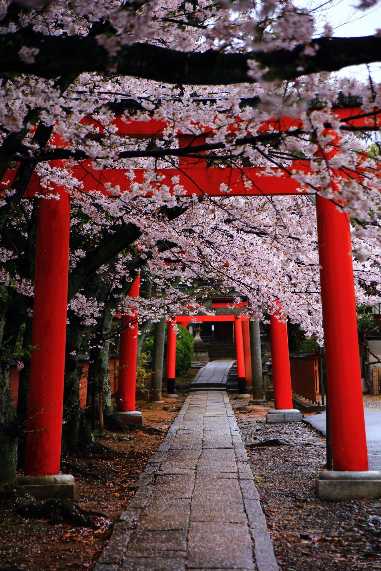 Kyoto Takenakainarijinja Shrine Cherry Blossoms Japon - This amazing image is being called the most beautiful photo of kyoto ever