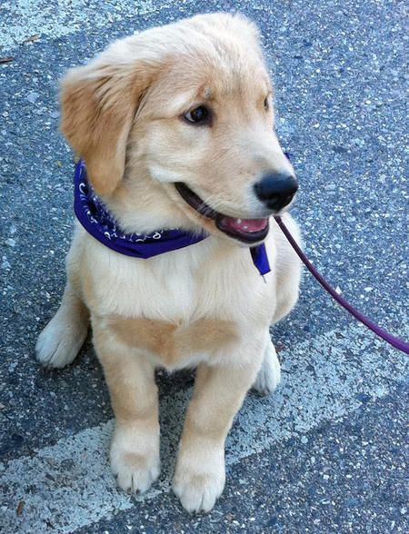 Puppy Breed Golden Retriever Hi My Name Is Carly I Am An
