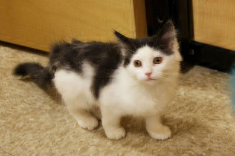 Willow Is Available For Adoption At The Maple Grove Petsmart She Is 3 Months Old Rescue Adoptdontshop Kittens Kittens Animal Rescue Adoption