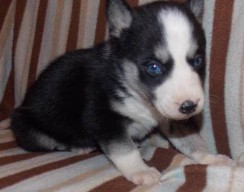 2 Akc Red White Female Siberian Husky Puppies 8 Weeks Old Ready