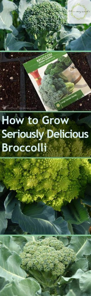 How to Grow Seriously Delicious Broccoli Bless My Weeds to Grow Seriously Delicious Broccoli  Bless My Weeds| Grow Broccoli How to