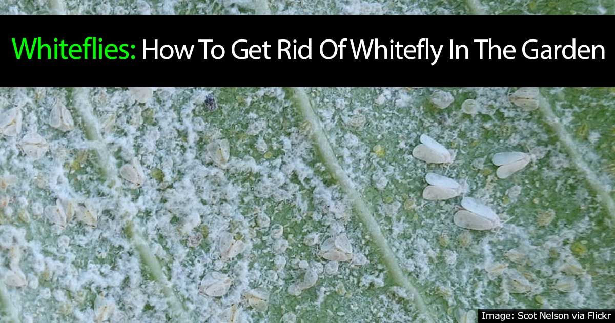 Whiteflies How To Get Rid Of White Flies In The Garden