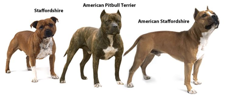 5 Popular Different Types Of Pitbulls Breeds With Pictures