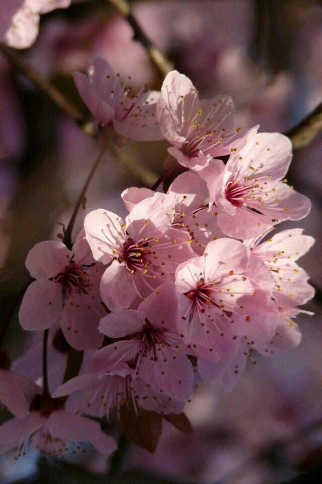 Pin By Juliana Forgiarini Pereira On Flores Sakura Cherry Blossom Blooming Trees Beautiful Flowers