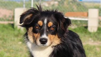 Pictures Of Bixby A Australian Shepherd Mix For Adoption In Colorado Springs Co Who Needs A Loving Home Pets Dog Adoption Australian Shepherd