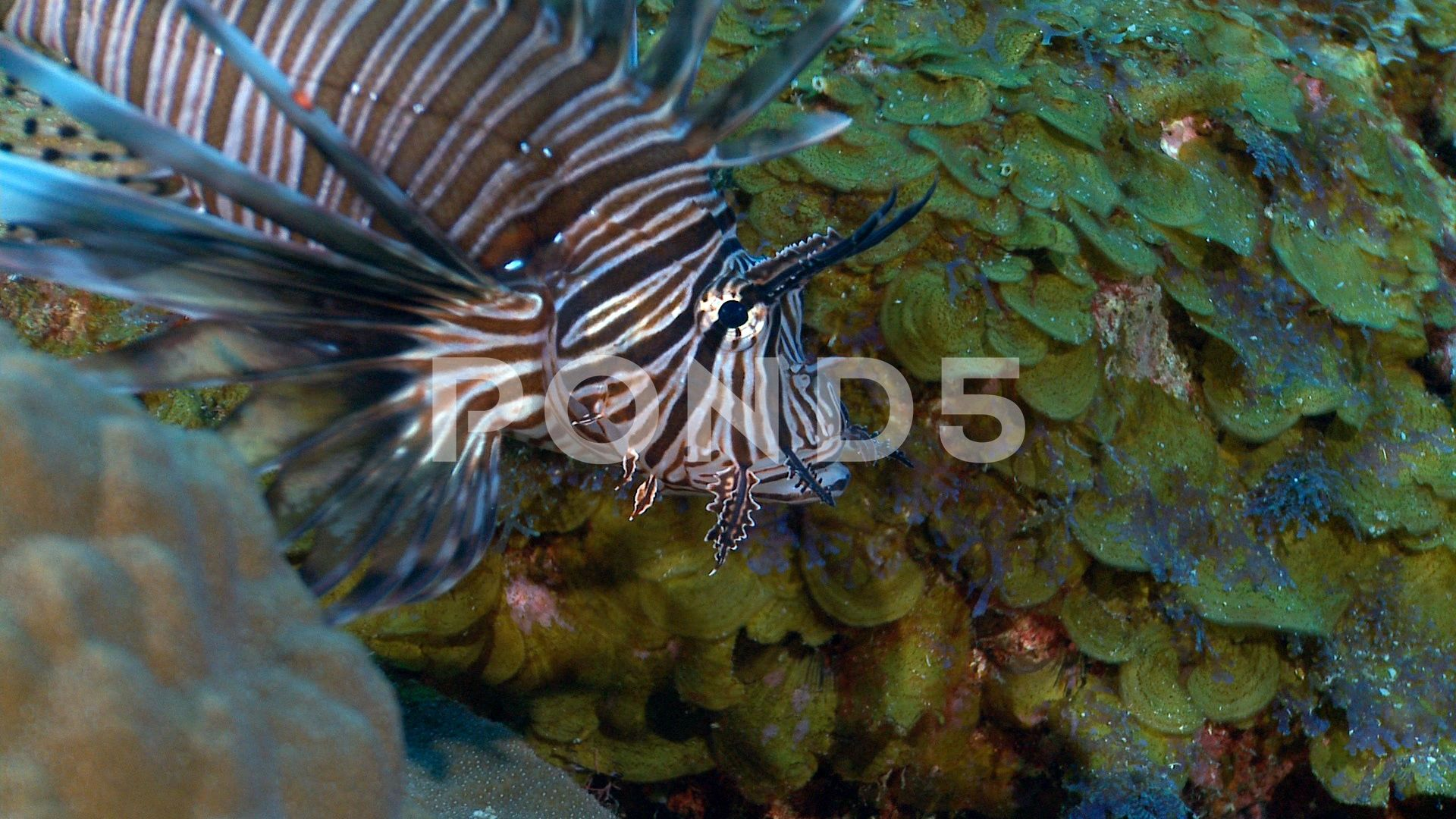 Lionfish Cu Invasive Species Of Caribbean Gulf Of Mexico Alantic Ocean Threat Stock Footage Species Caribbean Gulf Lionfish Lion Fish Invasive Species Species