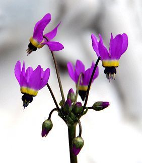 """Dodecatheon clevelandii  """"Padre's Shooting Star""""#clevelandii #dodecatheon"""