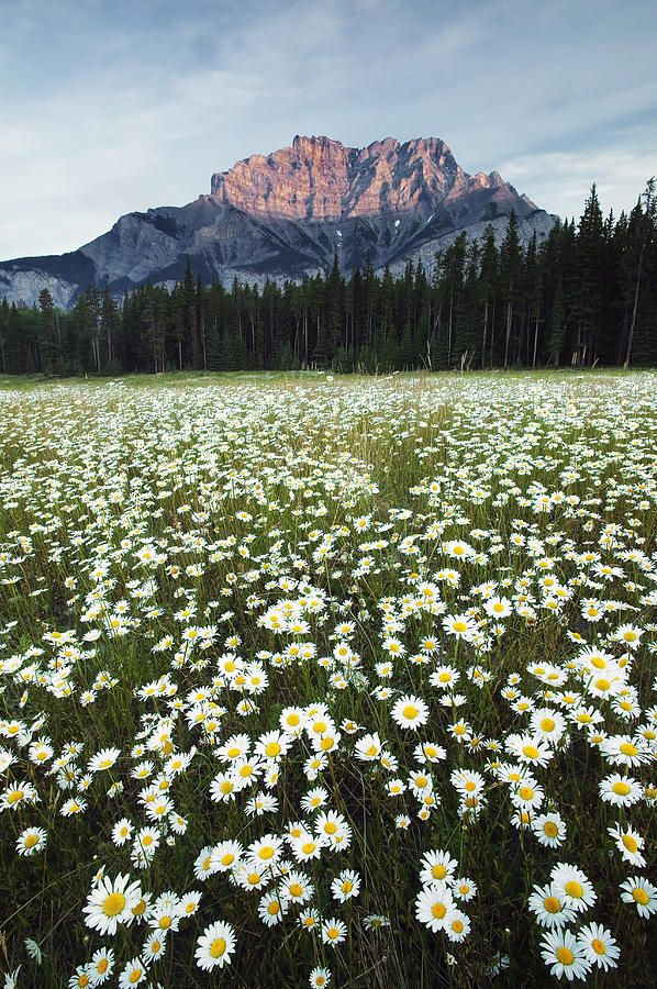Field of Daisies, Banff National Park, Alberta, Canada ... Field Of Daisies