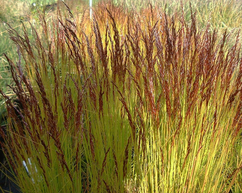 Deschampsia flexuosa Tatra Gold Planten Pinterest