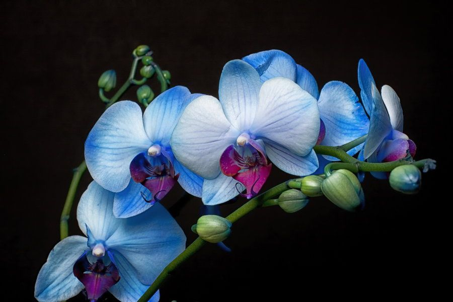 Blue Orchids Blue Orchids Phalaenopsis Orchid Orchid Flower