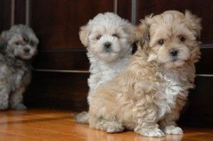 Shih Poo Puppies Colorado Shih Poo Puppies Shih Poo Puppies