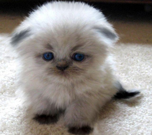 Scottish Fold Kitten Adorable With A Capital A Scottish Fold