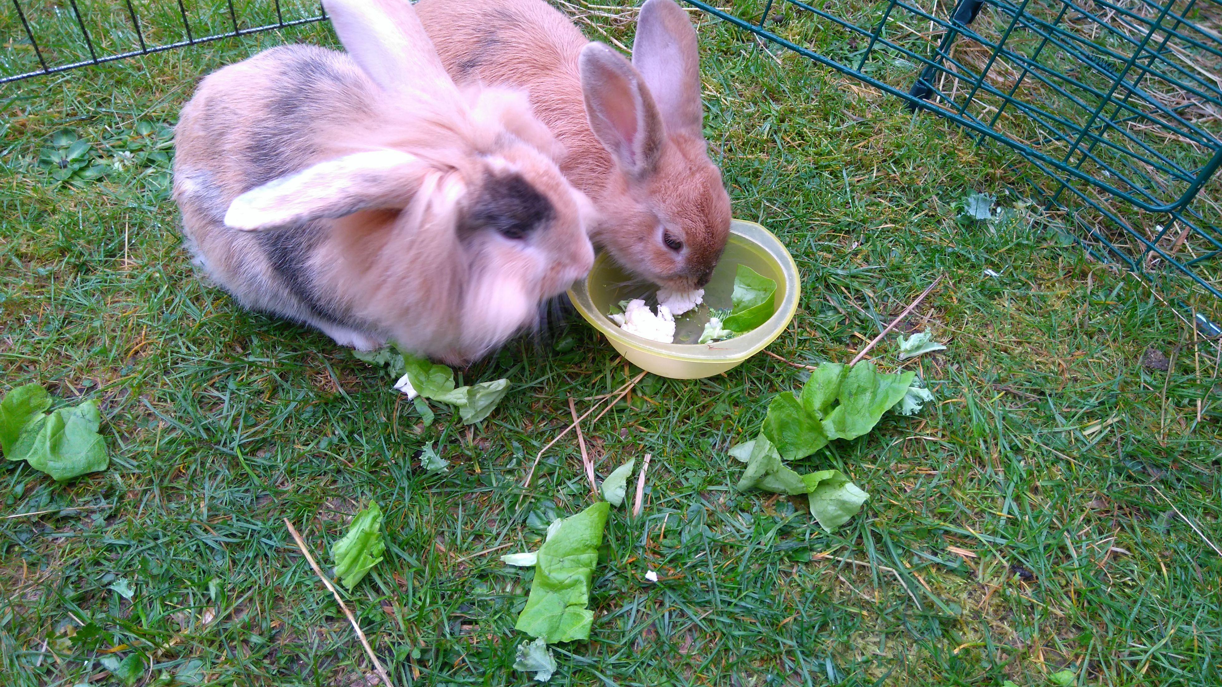Info On Veg For Bunnies Pet Bunny Rabbits Pet Bunny Rabbit