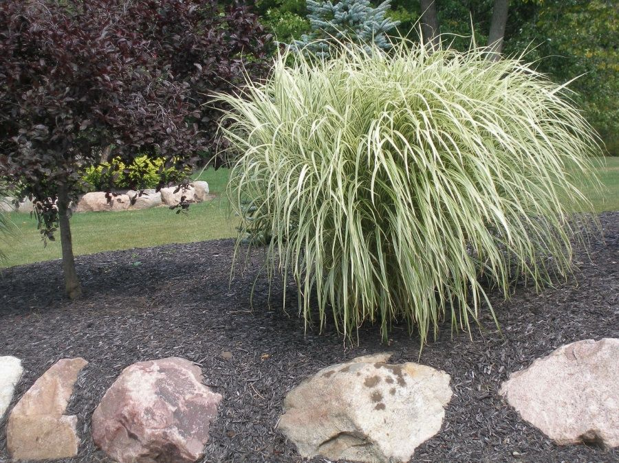 Miscanthus sinensis 39 variegated 39 variegated maiden grass for Variegated ornamental grass