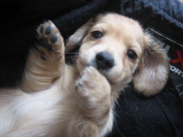 Fabio The Long Haired English Cream Mini Dachshund Really Cute Dogs Puppies Dachshund Puppy Miniature