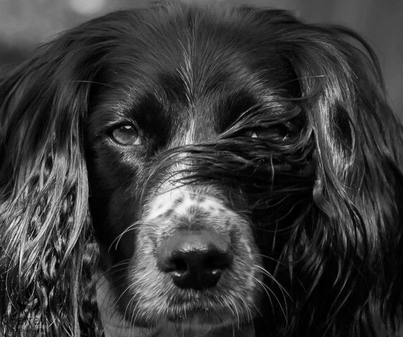 Izzy from www.jferrettphotography.co.uk Spaniel dog