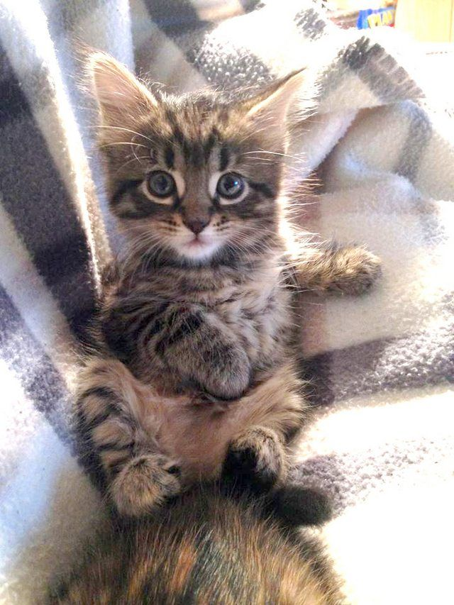 Ragdoll Kittens Cats & Kittens Gumtree Australia