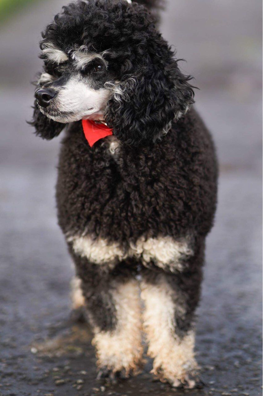 Pin On Black And Tan Phantom Poodle
