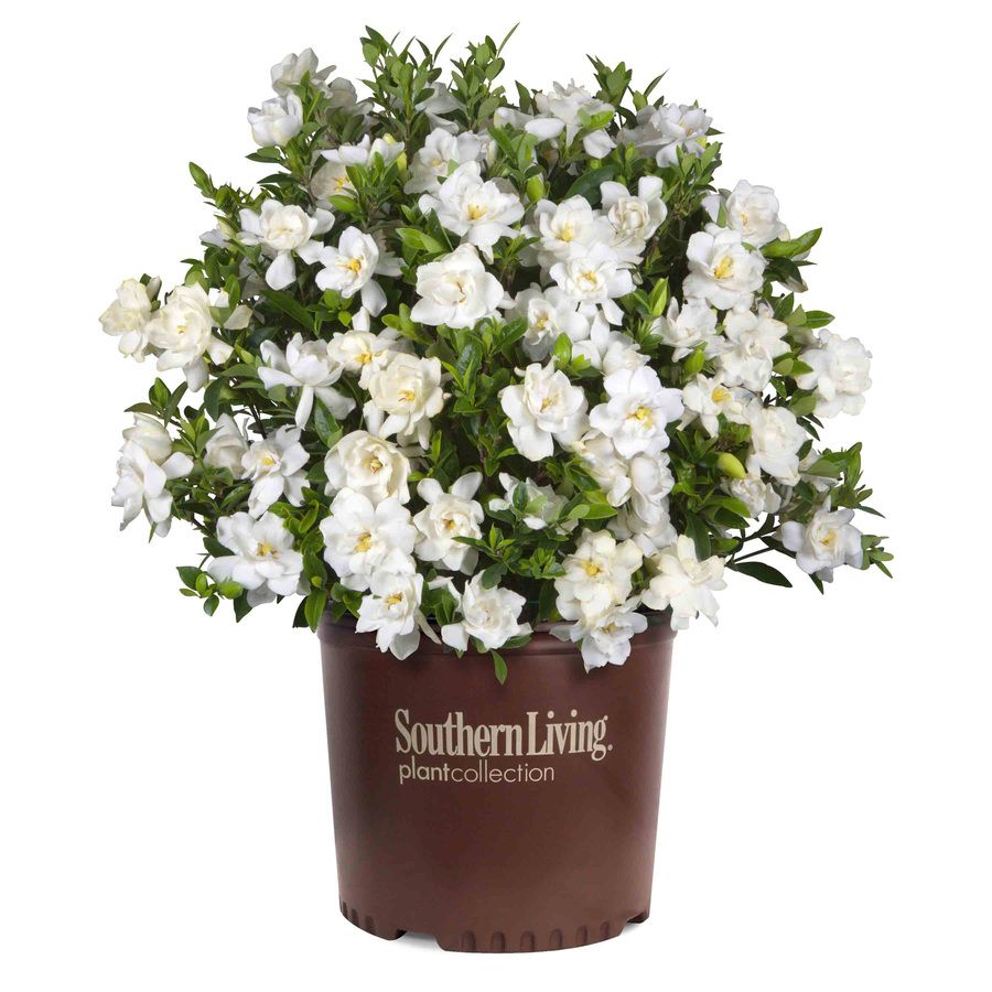 Southern Living 2 5 Quart White Gardenia Flowering Shrub Plants