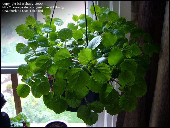 Swedish Ivy Plectranthus Verticillatus Houseplant Ivy Plants House Plants Begonia