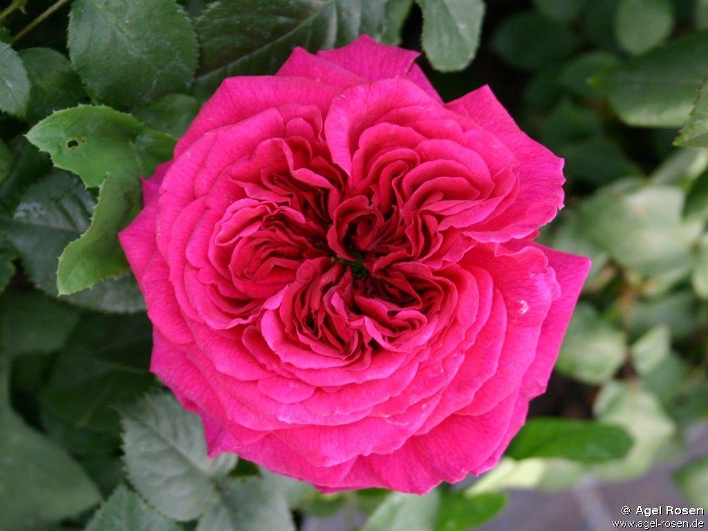 Buy Auschild English Rose English Roses Rose Fragrant Flowers