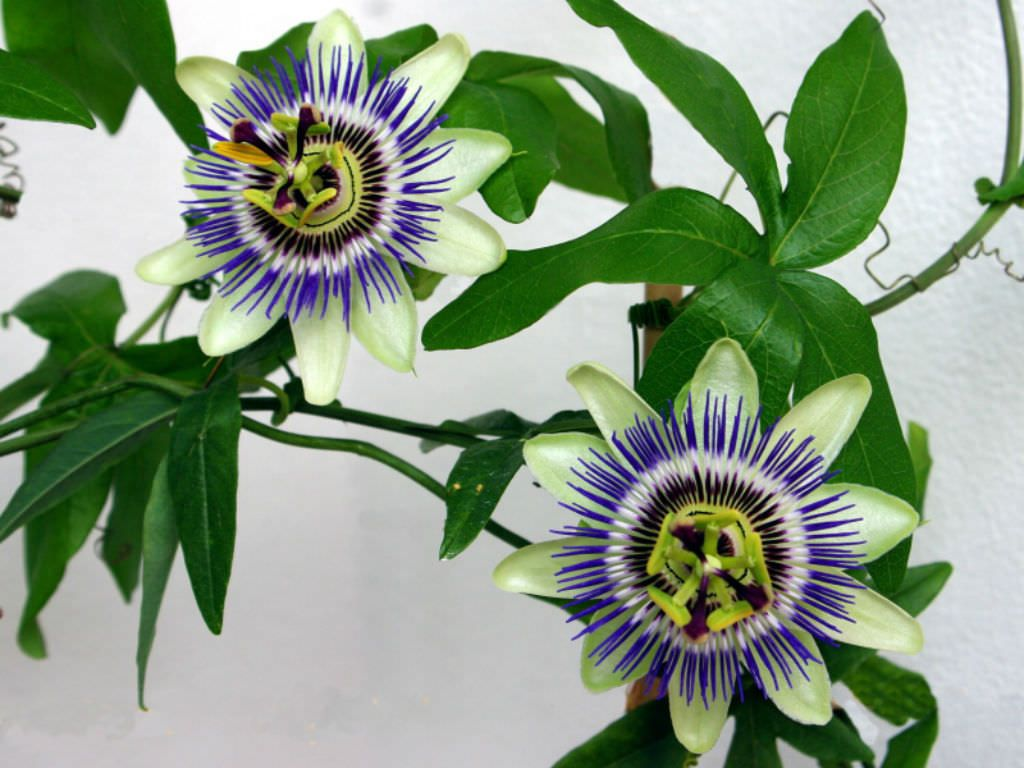 Passiflora Caerulea Blue Passion Flower Is A Woody Vine Capable Of Growing Up To 65 Feet 20 M High W Blue Passion Flower Passiflora Caerulea Passion Flower