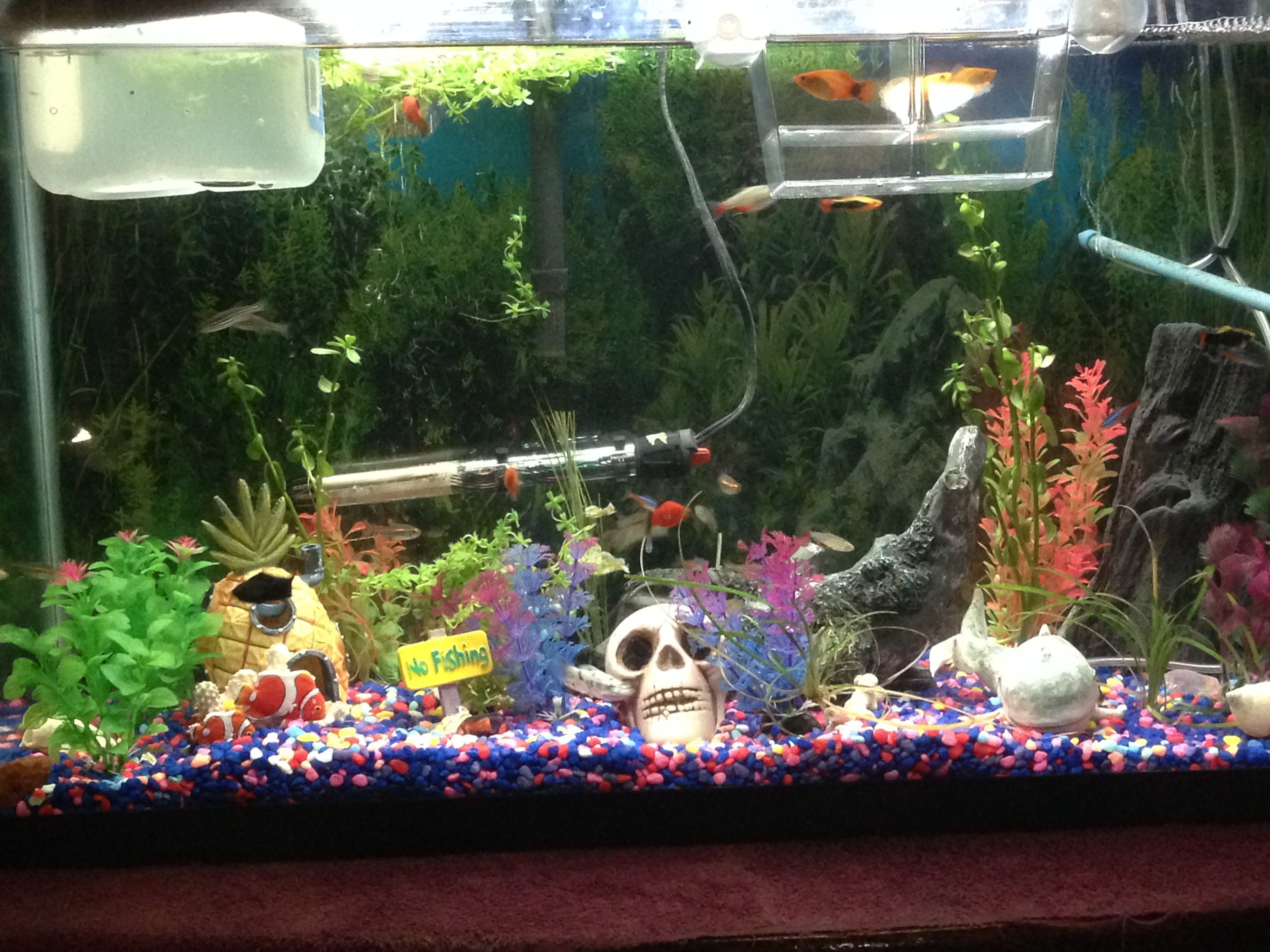 My tank, pregnant Mickey Mouse Platy's in breeder box