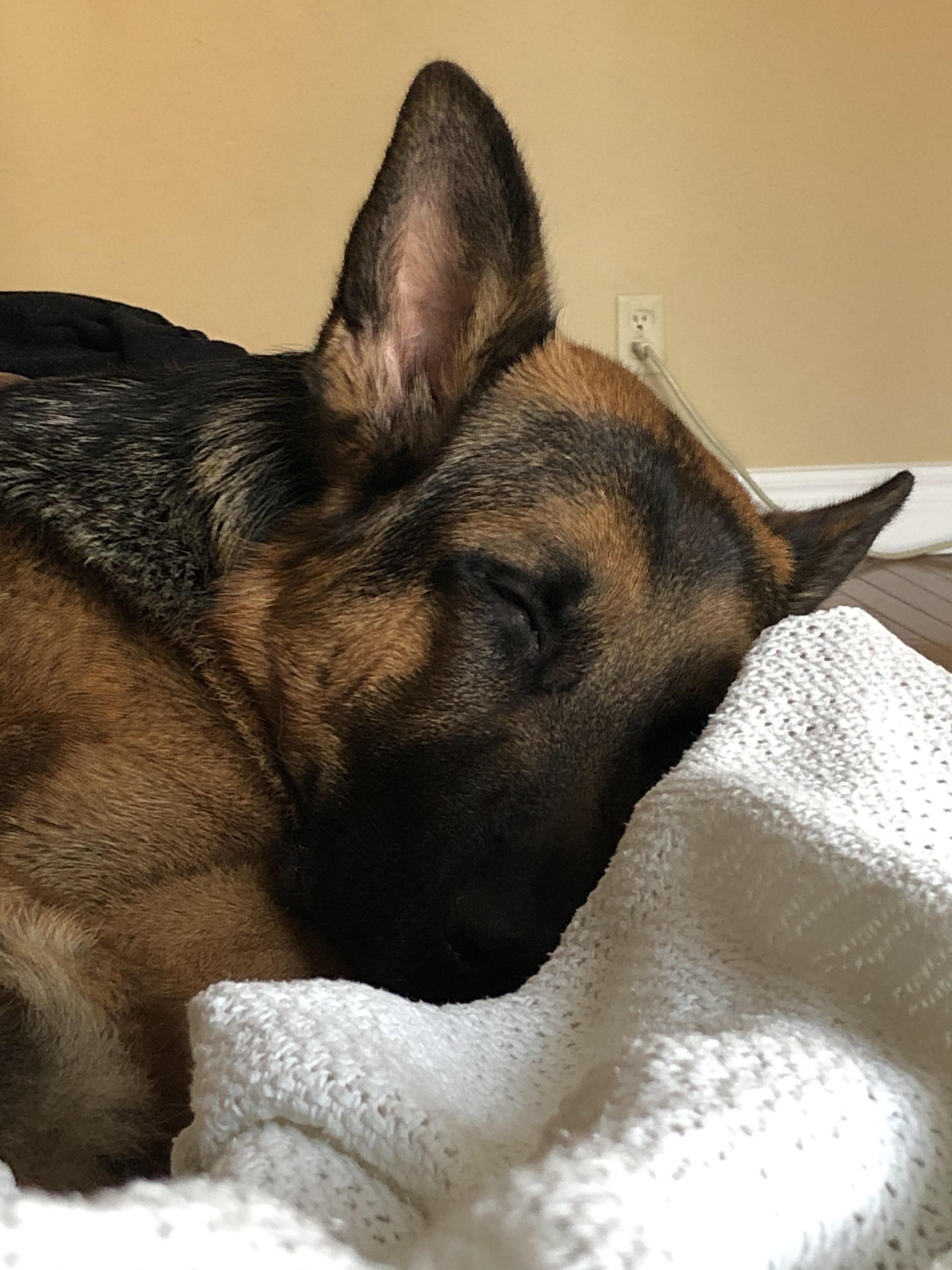 44 German Shepherd Mix Breed Reviews In 2020 German Shepherd Dogs Grand Dog Pitbull Dog