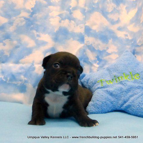 Katrina Boy 4 French Bulldog At Umpqua Valley Kennels Drain Or