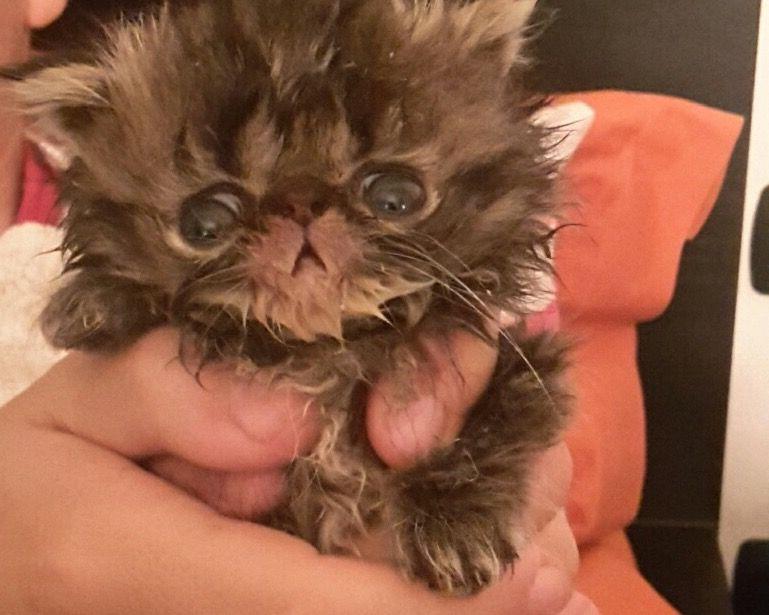 Cuccioli Gatto Persiano Chinchillà Cercano Casa Annunci Animali