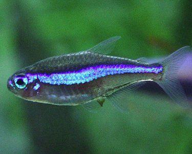 Greenneontetra1 Jpg 375 300 Tetra Fish Neon Tetra Fish Neon Tetra