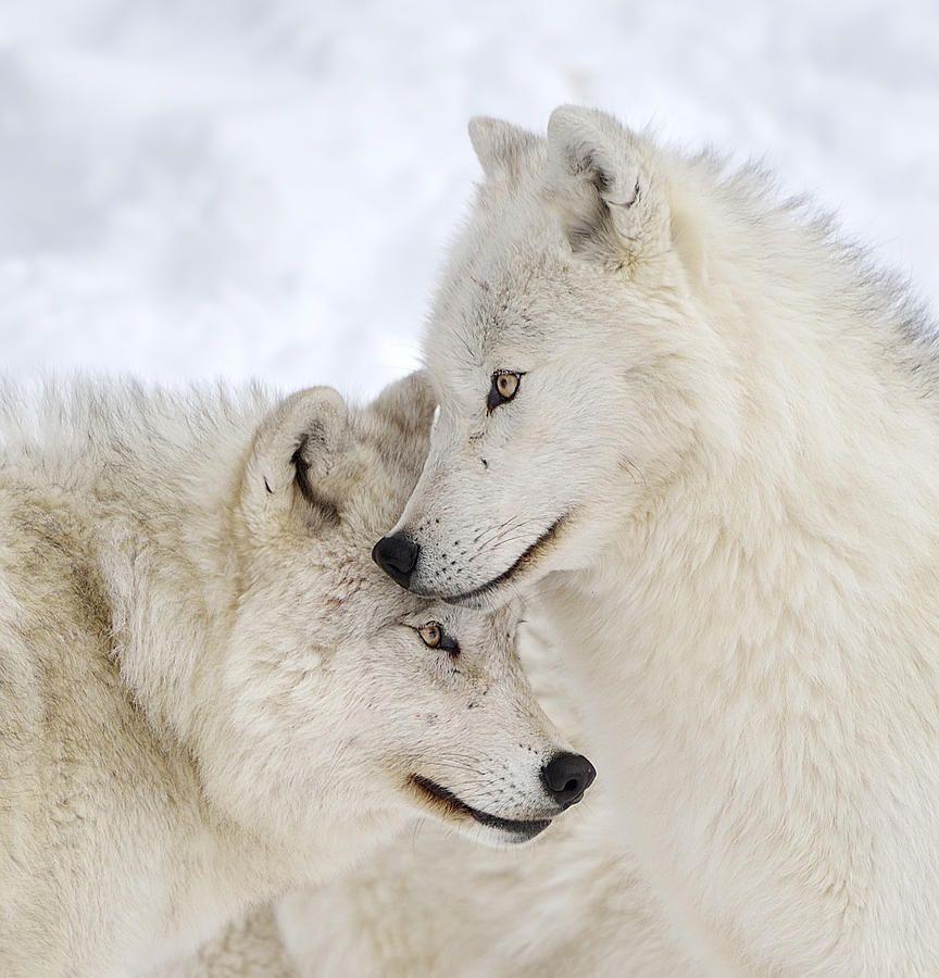 Белый волк фото обои одной стороны