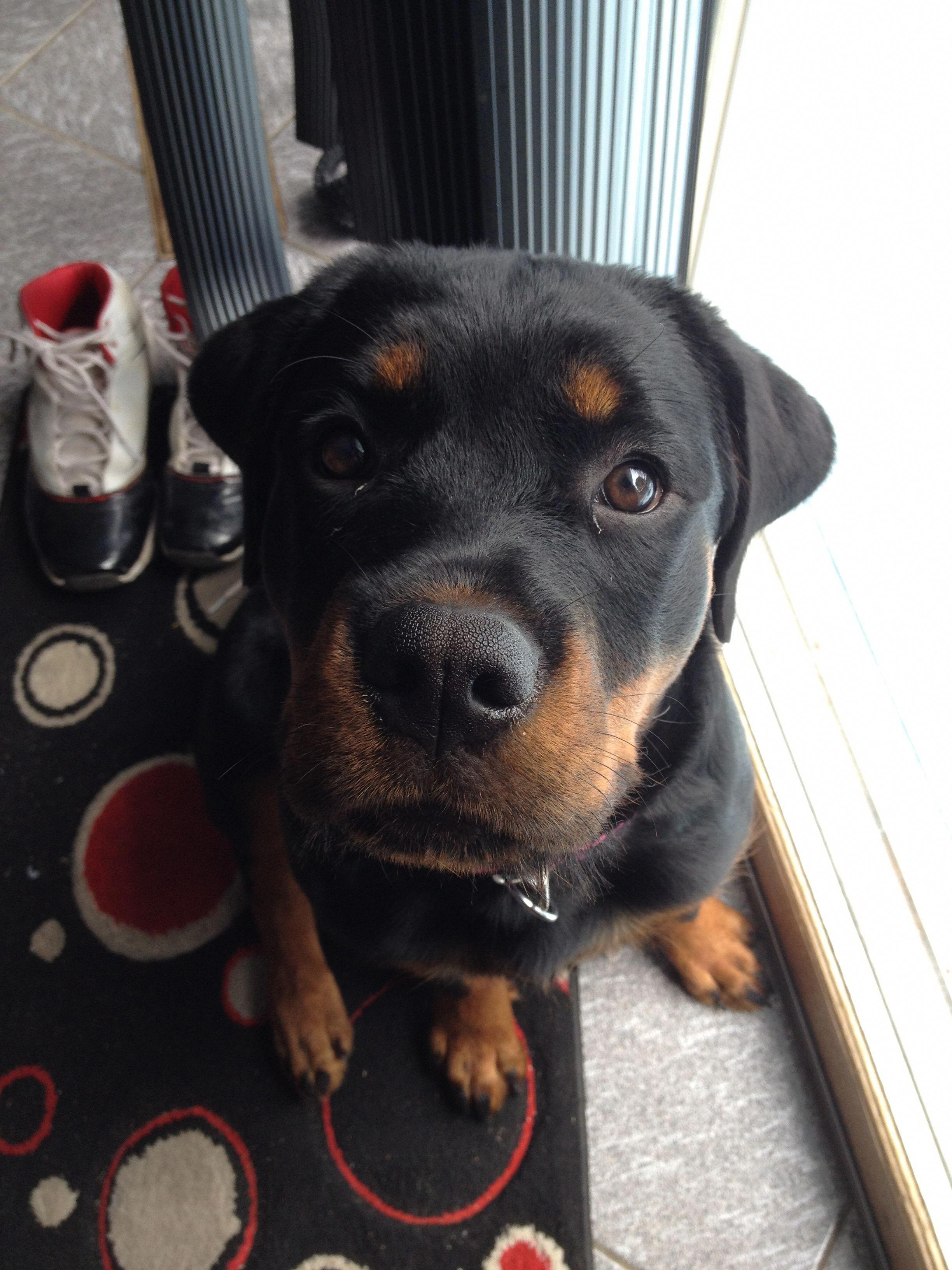 Lab Puppy Nala Welpenbilder Hunderassen Und Hunde