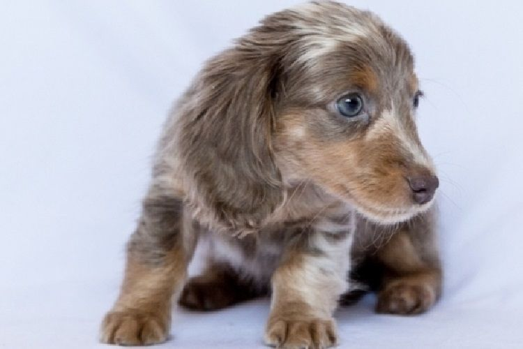 Available Doxie Pups Garden Dachshund Breeders Of Merits Akc