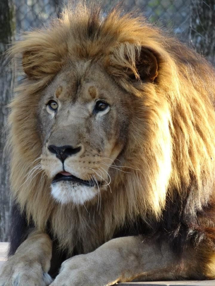 Juda The Most Magnificent Male Lion I Have Ever Seen He Lives At Tiger Creek Located North Of Tyler Tx Lion Pictures Animals Beautiful Wild Cats