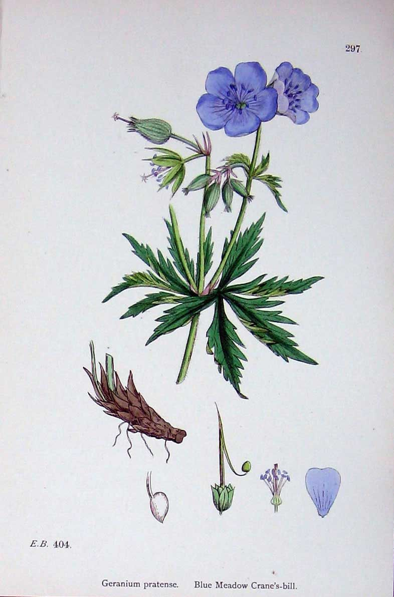 Geranium pratense, Blue meadow cranesbill, Beemdooievaarsbek. J. Sowerby And Others Edited By John Boswell.Dates C1902