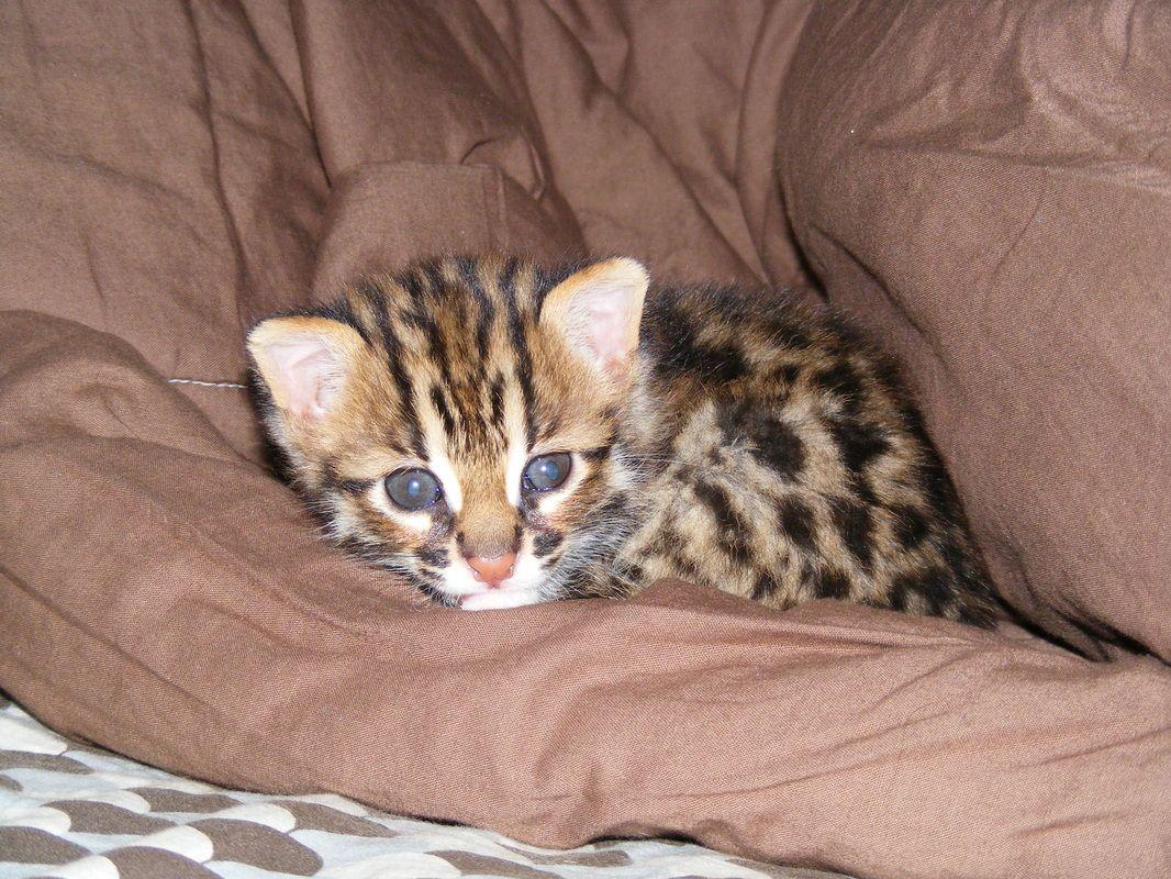 Lynx Hybrid Cats For Sale Cats Bobcat Bobcat Hybrid Hybrid