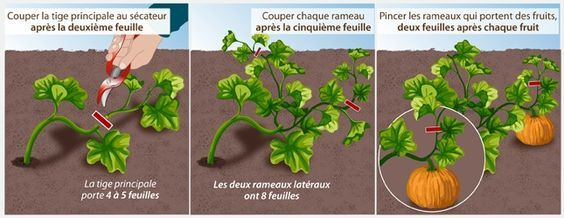 comment planter potimarron