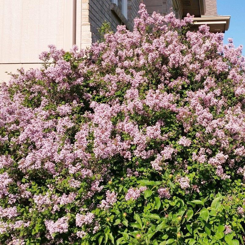 Dwarf Korean Lilac | Dwarf korean lilac tree, Shade shrubs ...