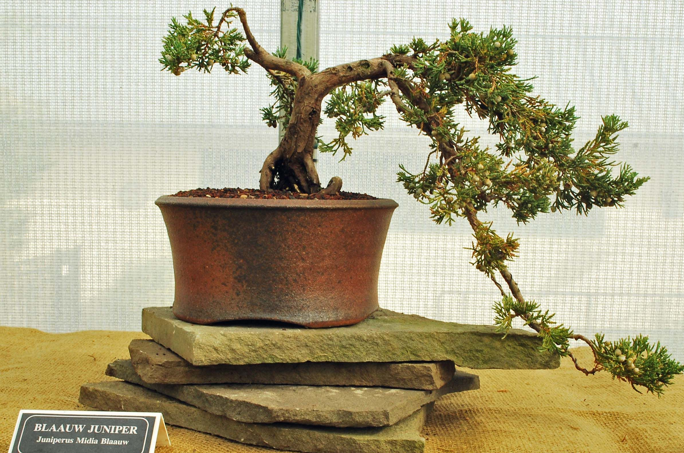 How To Revive A Bonsai Tree With Brown Leaves Bonsai Tree Gardener In 2020 Indoor Bonsai Tree Bonsai Tree Care Bonsai Tree