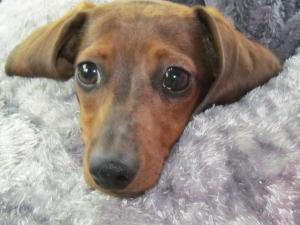 Vizsla Puppy For Sale In Virginia Beach Va Adn 28514 On