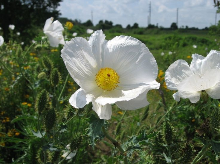 White thistle like wild flowers in colorado argemone albiflora white thistle like wild flowers in colorado argemone albiflora white prickly poppy mightylinksfo