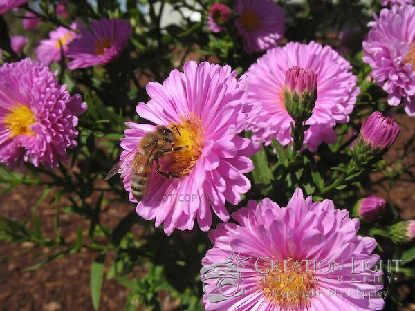Bee Pollinating Pink Aster Flowers Creation Light Photography Greek Flowers Flower Creation Aster Flower