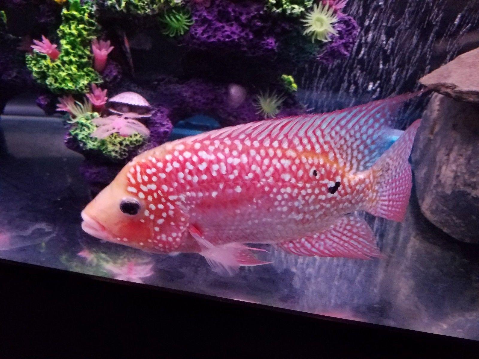 Iimported Fertile Male Srt Super Red Texas Cichlid From Thailand Eaux Douces Poisson D Eau Douce Poisson