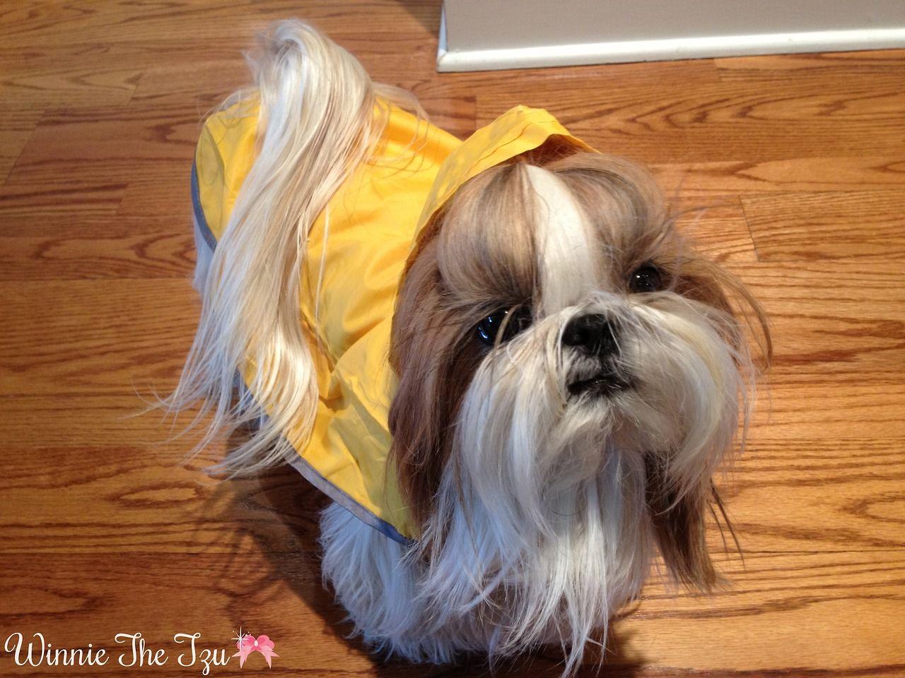 Winnie the Tzu: Photo Love watching stories about this Shih Tzu.