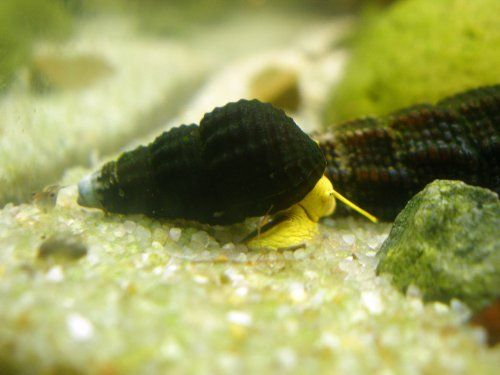 5 Mini Golden Rabbit Snails 1 From Sulawesi Indonesia Very Seldom Available By Invertobsession Invertobsession Http Aquatic Arts Golden Rabbit Sulawesi