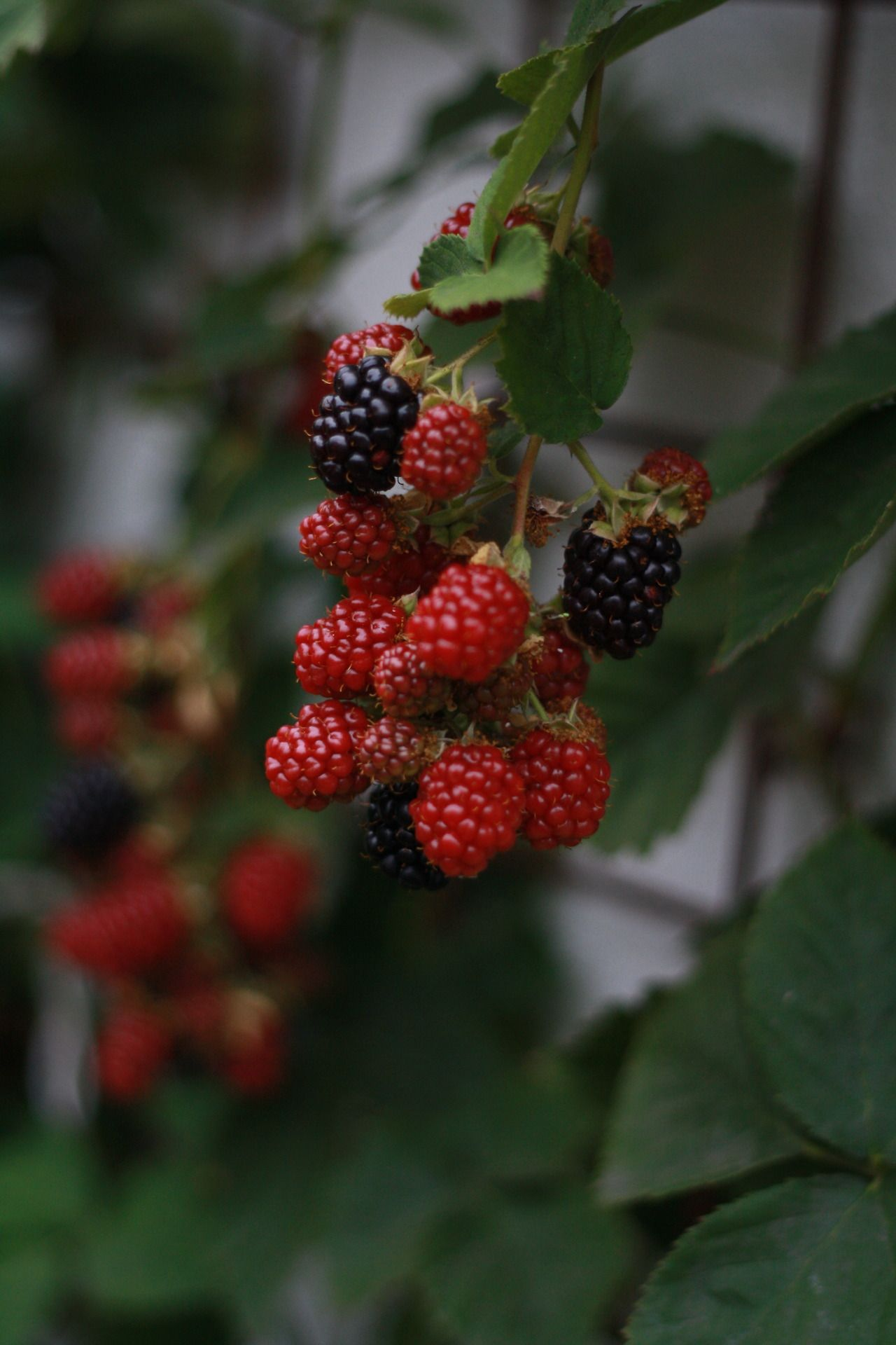 Blackberries - they are almost ready for pies and puddings, jellies and jams
